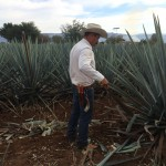 The agave plant is of the lily family