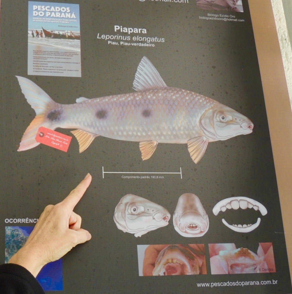 Information about the fish, Piapara