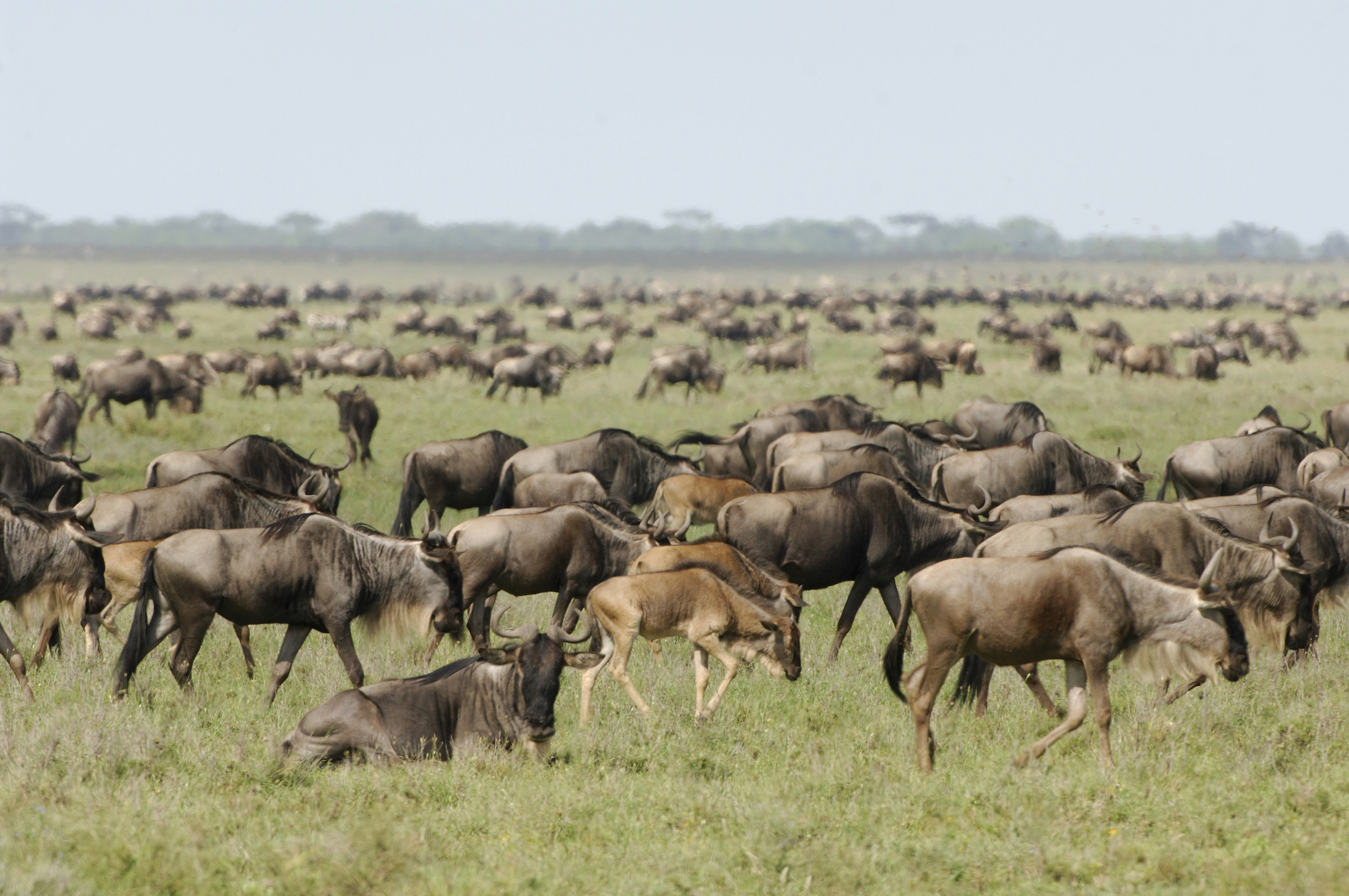 Wildebeest Photo provided by Abercrombie and Kent