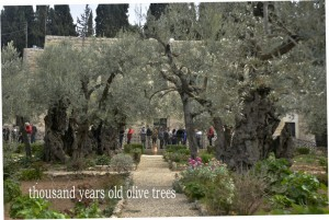 Thousand year old olive trees near Church of all Nations