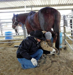 Fyllis cleaning the horse's hooves.