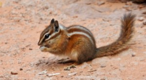 This Chipmunk forging for food, but stayed close to the rocks for safety.