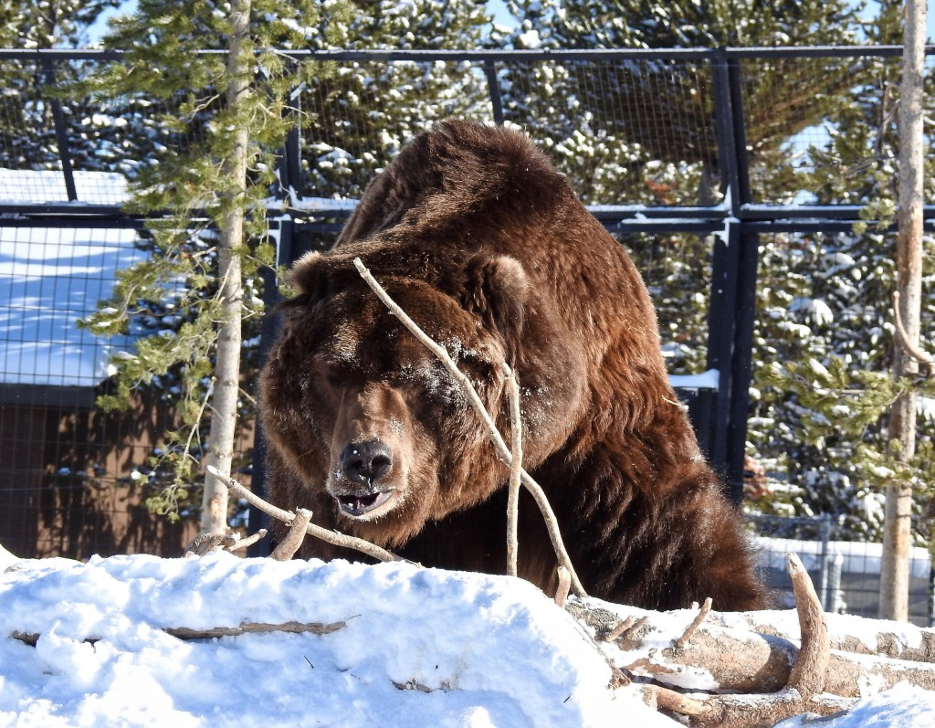 Nakina grizzly bear, weighs 600 lbs.