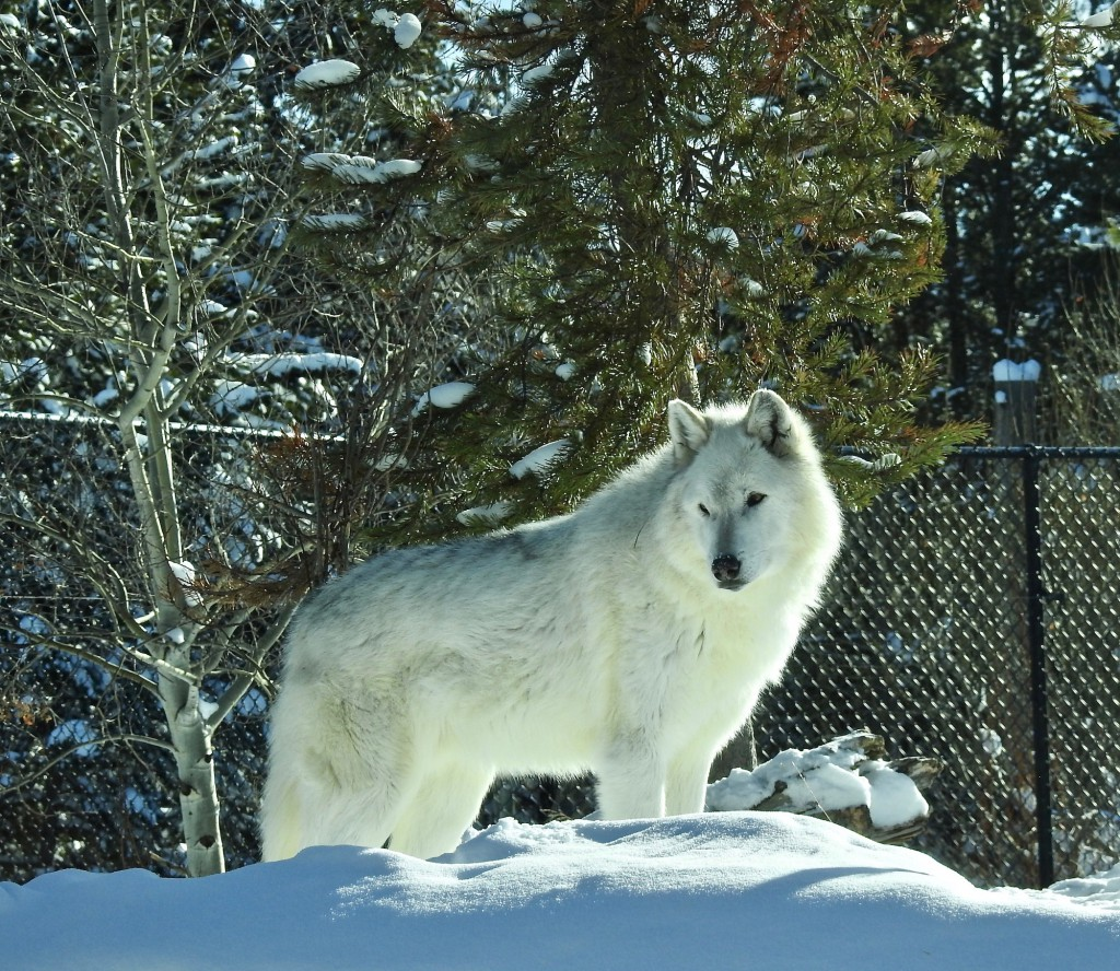 Three wolf packs live in Grizzly & Wolf Discovery Center
