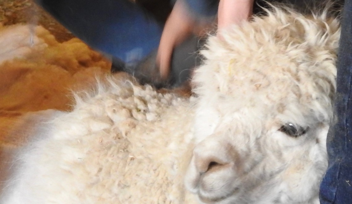 Shearing Alpacas at Dream Catcher Ranchito