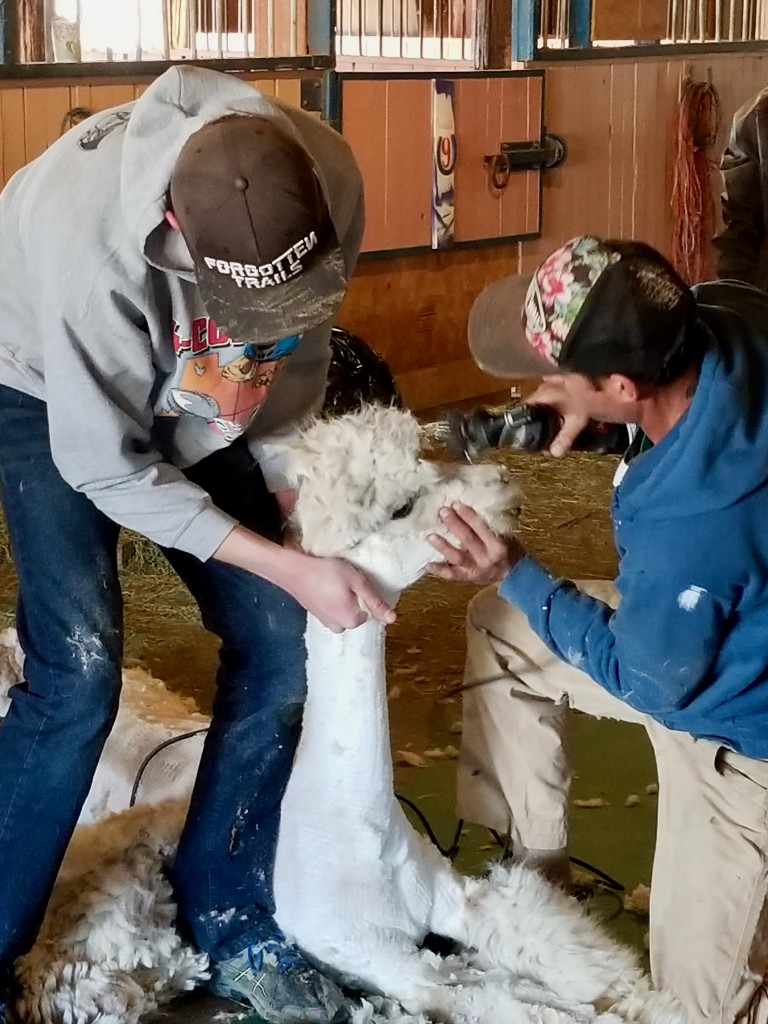 The shearer must be extremely careful with the face area so not to injure the alpaca's eyes or ears.