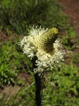The flower of Bear Grass. Bear Grass was used by Native Americans to weave baskets because it is so strong.