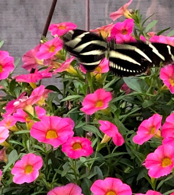 Greenville, SC:  Butterflies At Roper Mountain Science Center